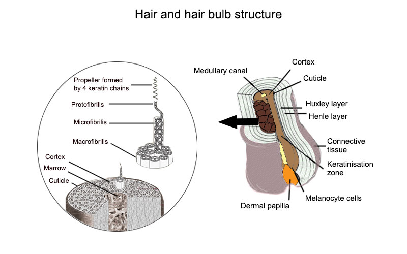 Structure And Composition Of The Hair Activilong